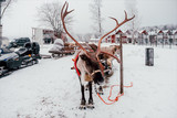 Deer and sledge in Finland - 226887659