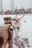 Deer and sledge in Finland - 226887688