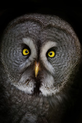 Strix aluco is a night owl bird of the family of wolves.
