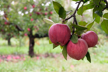 Ripe red apples on a branch ready to be harvested