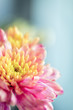 Close up background of pink and yellow chrysanthemum flower, macro, vertical composition
