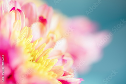 Close up background of pink and yellow chrysanthemum flower on blue background, macro - 226935853