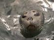 Kiss Me Portrait of a Harbor Seal