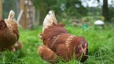 Slow motion chicken in free range enclosure following the camera - 226941225