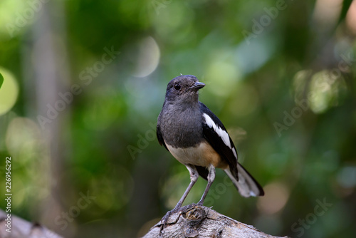 Leinwandbild Motiv Oriental magpie-robin, they are common birds in urban gardens as well as forests.