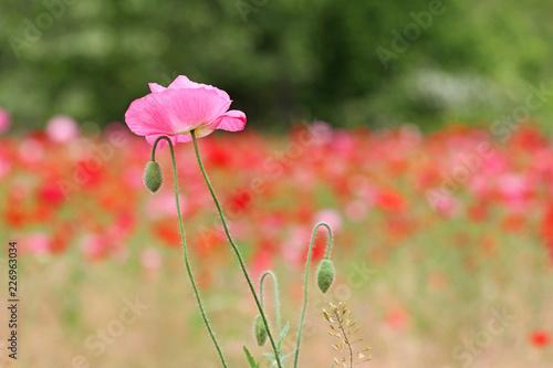Pink Poppy flower - 226963034