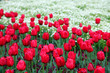 Beautiful display of tulips in a variety of colours at Floriade, Canberra