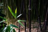 bambous de jardin, été