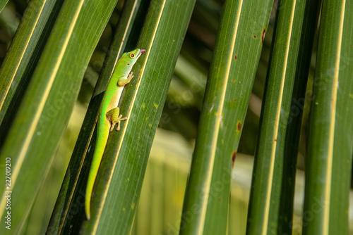 Foto Murales Lizard on a leaf close up in Praslin Seychelles. Tropical island wildlife.