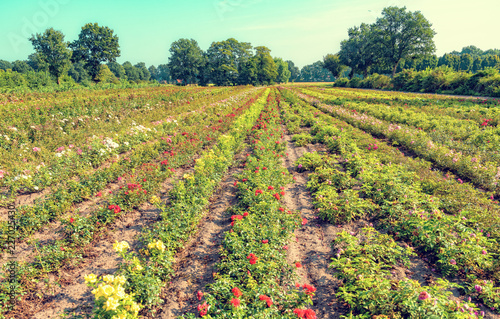 a beautiful and colorful and fragrant rose field
