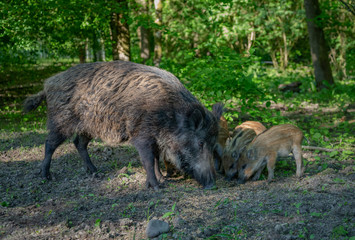Wild Boar in forest Netherlands © Randy van Domselaar