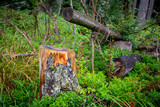 old stump in forest - 227034649