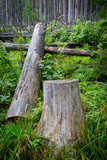 stump and log in pine forest - 227034651