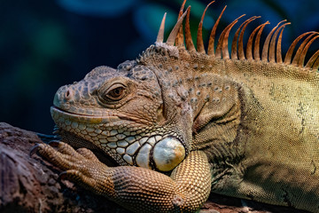 Green Iguana close up portrait on a tree © Andrea Izzotti