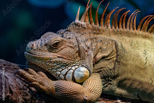 Foto Murales Green Iguana close up portrait on a tree
