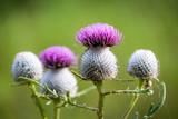 thistle flower soft photo - 227053415