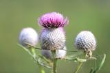 thistle blooming flower - 227053425