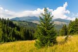 pine tree on mountain meadow - 227053626