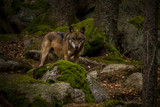 wolf in Srni