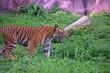 TIGER WALKING IN ZOO