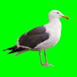Leinwandbild Motiv Seagull on Chroma Key Green Background