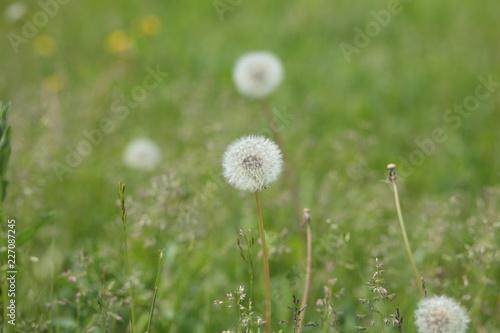 dandelion at spring - 227087245