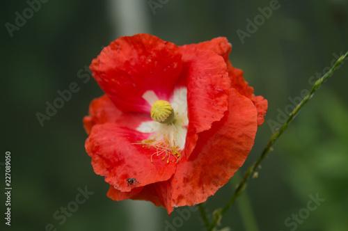 poppy on green background - 227089050
