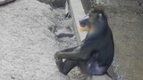 Funny, pensive Mandrill Monkey is yawning. Mandrillus sphinx - 227090203
