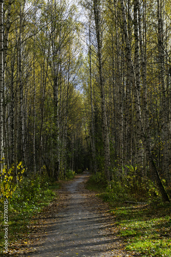 alley in the autumn birch grove with a path covered with fallen leaves - 227100215