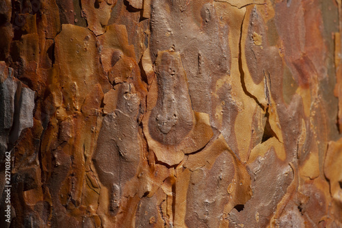 bark of pine tree trunk texture background - 227103662