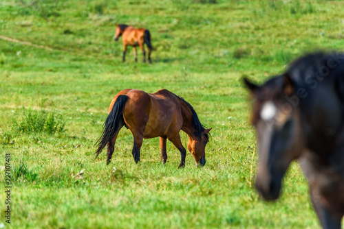 horse grazing on a farm field