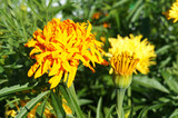 Marigold tagetes erecta fantastic yellow flowers with green