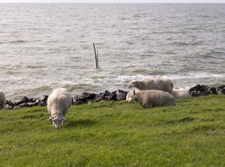 Schafe grasen am Deich von Stavoren am Ijsselmeer in Niederlande