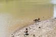 Ducks sailing in Hudson River