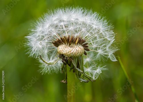 dandelion on background of green grass - 227129091