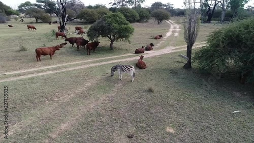 The African Zebra. The odd one out in this shot. Grazing between cattle on a South African Farm