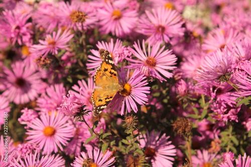 Бабочка сидит на розовой астре. - 227135861