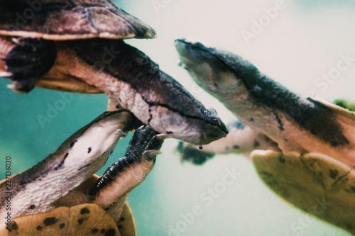 Foto Murales Hilaire's toadhead turtles (Phrynops hilarii) Close up