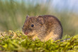 Leinwanddruck Bild - Bank vole in backyard grass field