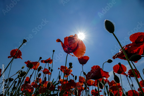 red poppies on background of blue sky, digital picture taken in Italy, Europe - 227196491