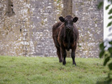 Black cow in a field, old stone building in the background,  East coast of Ireland