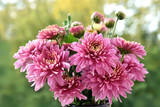 bunch of pink chrysanthemum flowers