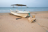 Cow laying on beach in front of anchored boat on Nilaveli beach in Trincomalee Sri Lanka Asia