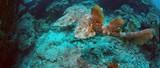 A Tasseled wobbegong, Eucrossorhinus dasypogon, is swimming in a coral reef in Raja Ampat, Indonesia