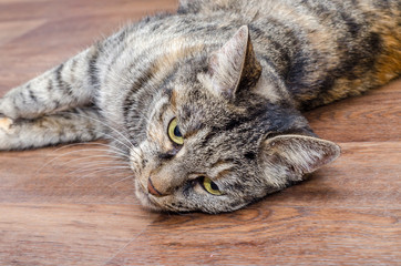 domestic cat lying on the floor