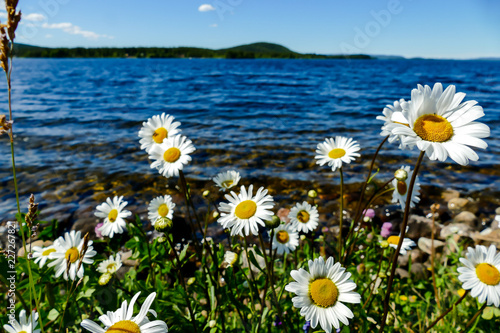 Foto Murales flowers on the beach, in Sweden Scandinavia North Europe