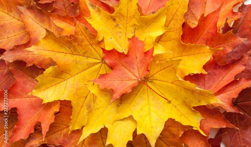 Foto Murales Autumn maple leaves.