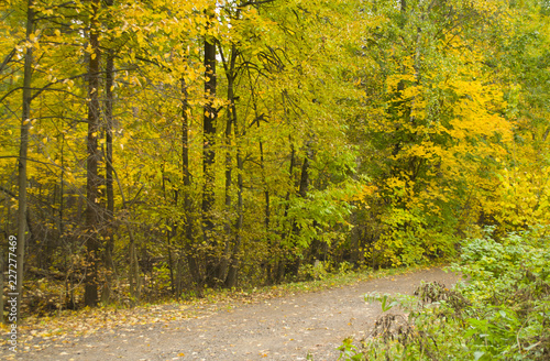 The road through the autumn forest with yellow green trees - 227277469