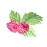 Watercolor painted raspberries, set, botanical illustration.