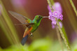 Leinwandbild Motiv Close up, shining green, caribbean hummingbird with coppery colored wings and tail, Copper-rumped Hummingbird, Amazilia tobaci hovering and feeding from violet verbena flower. Trinidad and Tobago.